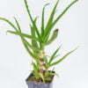 Aloe arborescens 01