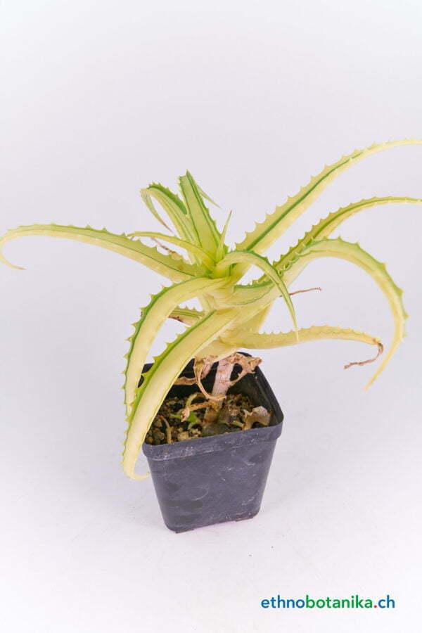 Aloe arborescens 02