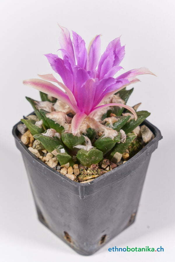 Ariocarpus bravoanus 01