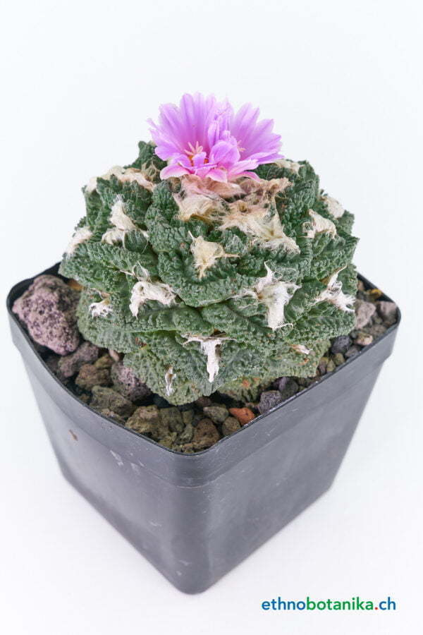 Ariocarpus fisseratus living rock cv Gozilla 01