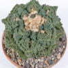 Ariocarpus fisseratus cv Godzilla 01