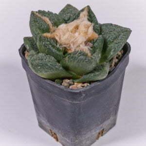 Ariocarpus fisseratus var texana 01