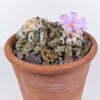 Ariocarpus fisseratus var texana 02