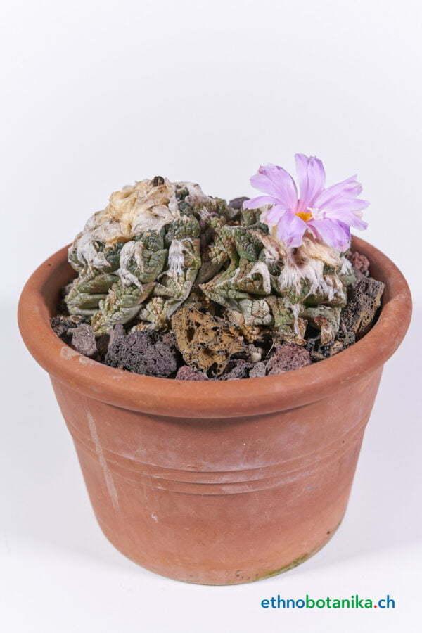 Ariocarpus fisseratus var