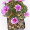 Ariocarpus kotschajeanbeanus macdowellii 01