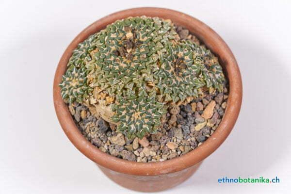 Ariocarpus kotschajeanbeanus 01