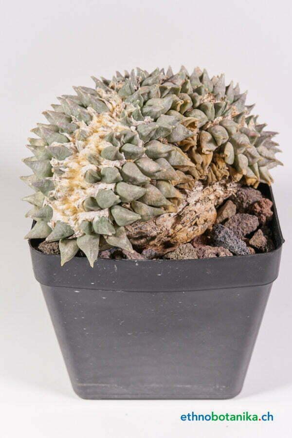 Ariocarpus retusus Nueve Leon 01