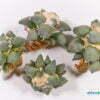 Ariocarpus retusus var furfuraceus 01