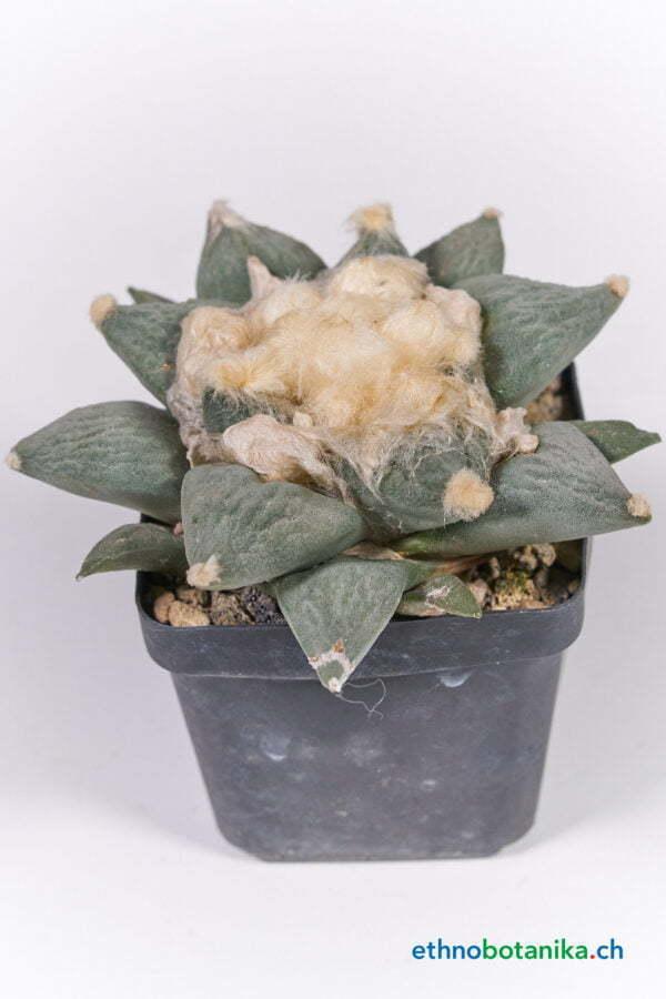 Ariocarpus retusus 01