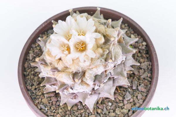 Ariocarpus retusus cv Frumdosus 01