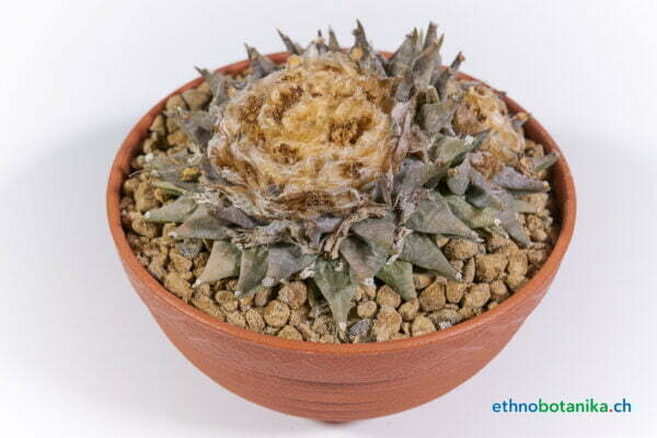 Ariocarpus retusus km 68 01