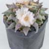 Ariocarpus retusus sb 68 01