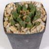 Ariocarpus scaphorostrus 01