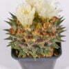 Ariocarpus trigonus hocarekii 01
