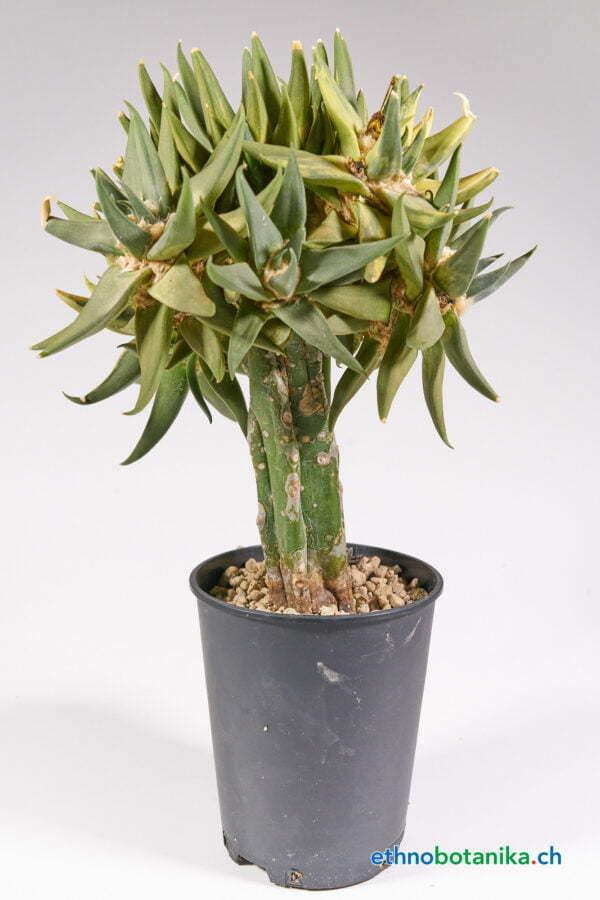 Ariocarpus trigonus variegata 01