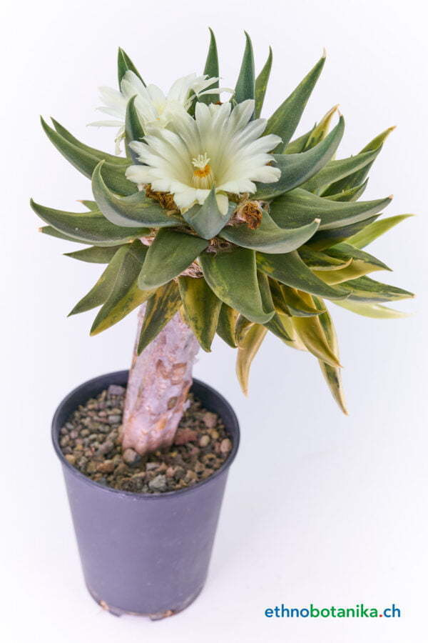 Ariocarpus trigonus variegata 02