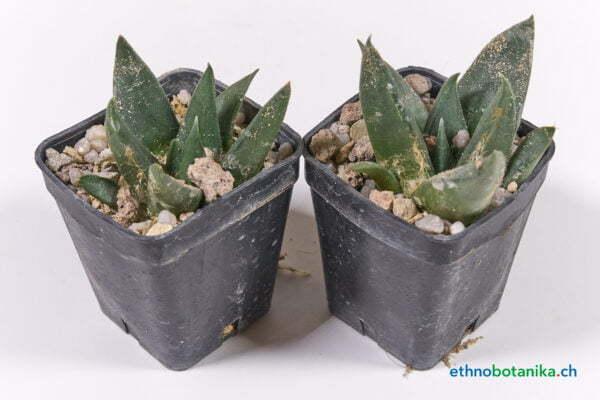Ariocarpus trigonus 01