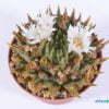 Ariocarpus trigonus var elongatus 01