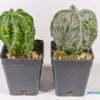 Astrophytum myriostigma jap cultivar 01