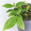 Banisteriopsis caapi 03