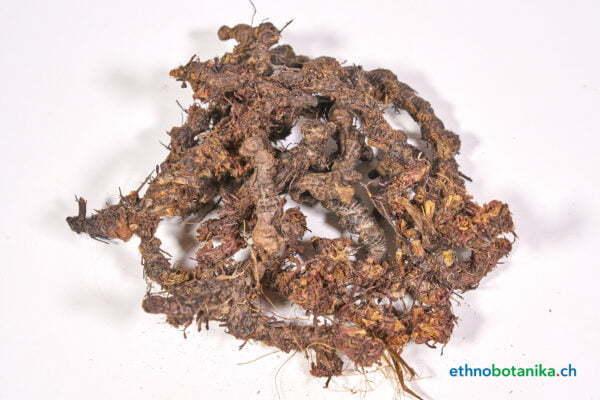 Cyperus articulatus 01