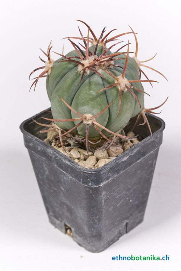 Echinocactus horizonthalonius 01