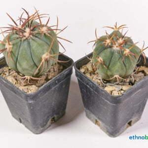 Echinocactus horizonthalonius 03