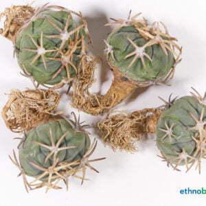 Echinocactus horizonthalonius Eagle claw Breite Bedornung 01