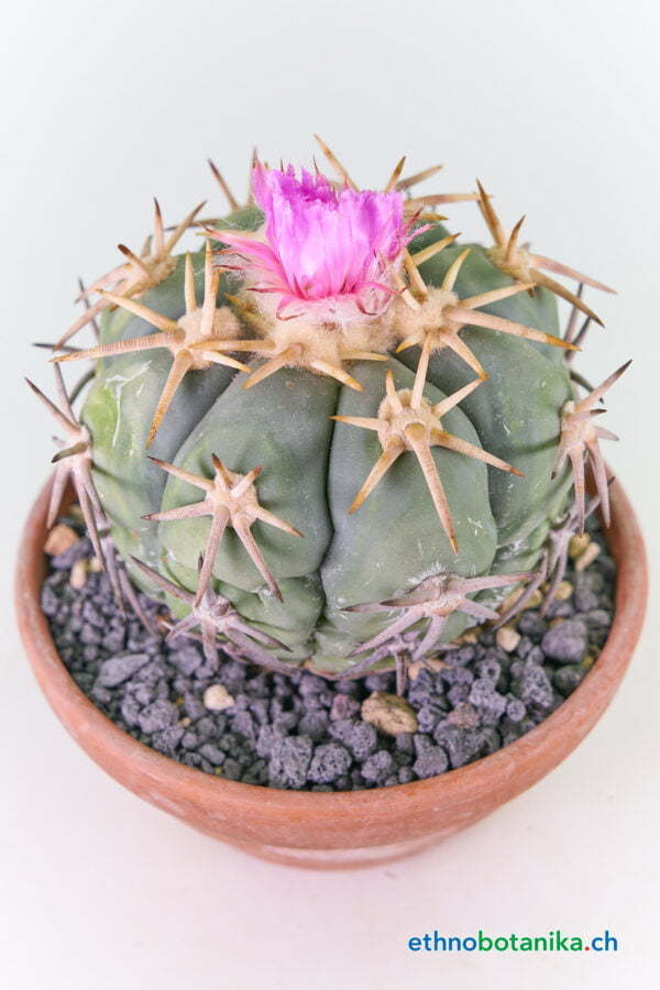 Echinocactus horizonthalonius Eagle claw Breite Bedornung 02