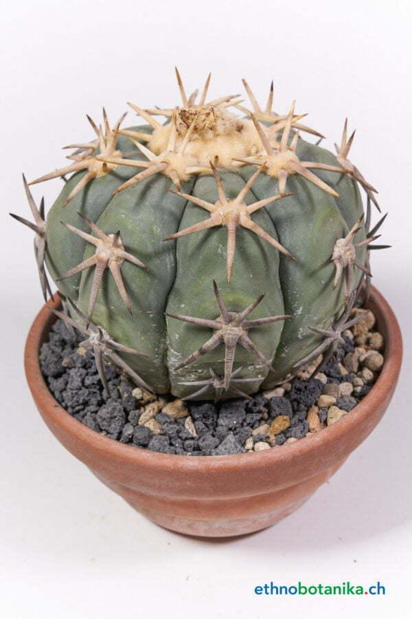 Echinocactus horizothalonius jap cultivar 01