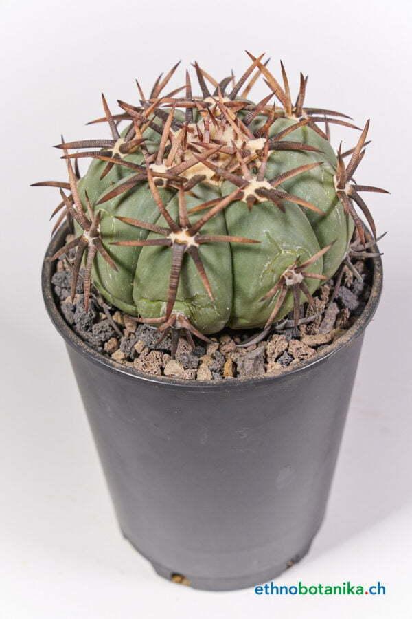 Echinocactus horizothalonius jap cultivar 02