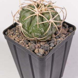 Echinocactus horizothalonius jap cultivar 03
