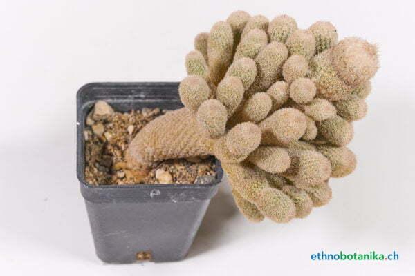Ephithelantha polycephala 01