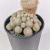 Ephithelantha rufispina 01