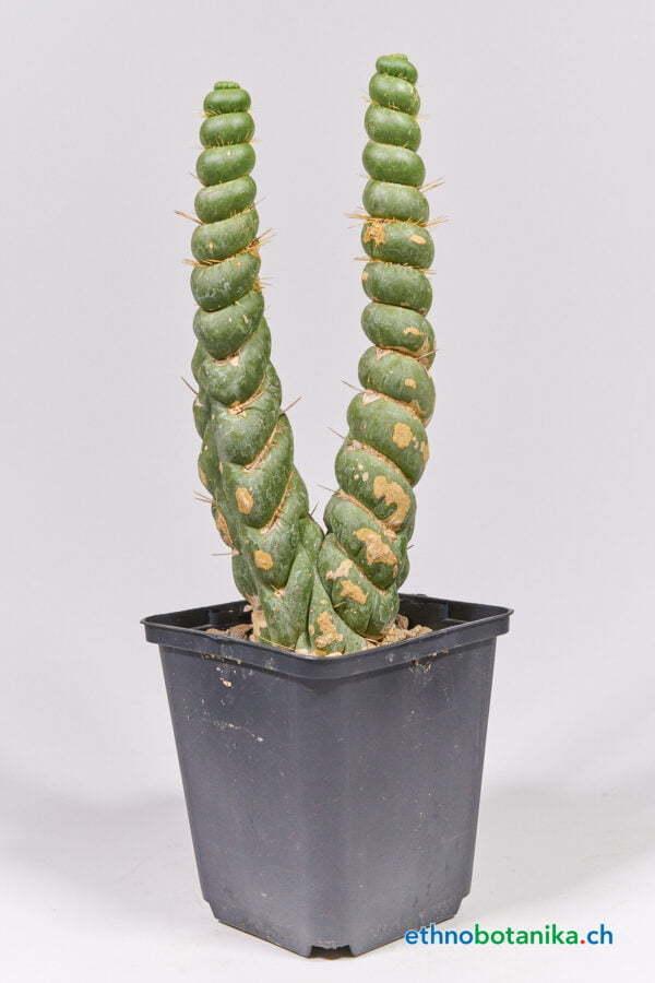Eulichnia castanea 01