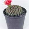 Gymnocalicium baldianum crest 01