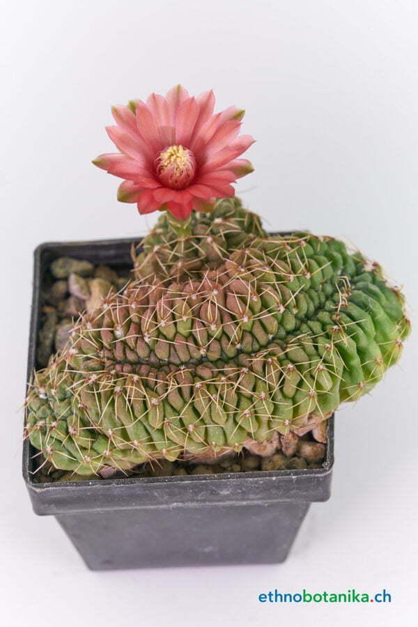 Gymnocalicium baldianum crest 02