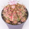 Gymnocalicium baldianus hybrid variegata 01