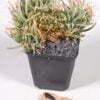 Leuchtenbergia principis cristata 01