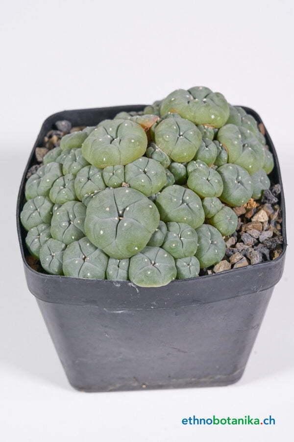 Lophophora caespitosa 01