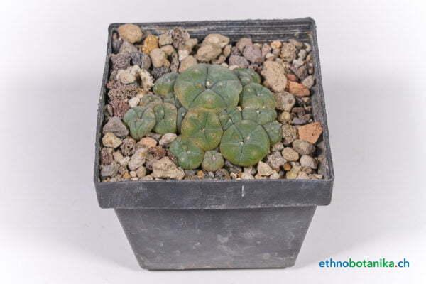 Lophophora caespitosa 02