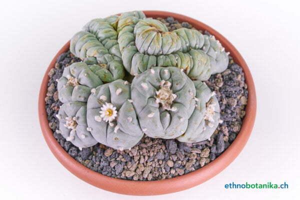 Lophophora diffusa crest 01