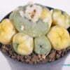 Lophophora diffusa variegata 01