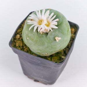 Lophophora diffusa viesca 01