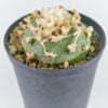 Lophophora diffusa viesca 02