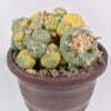 Lophophora fricci variegata 01
