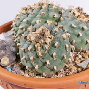 Lophophora fricci 03