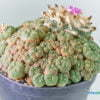 Lophophora jourdaniana 01