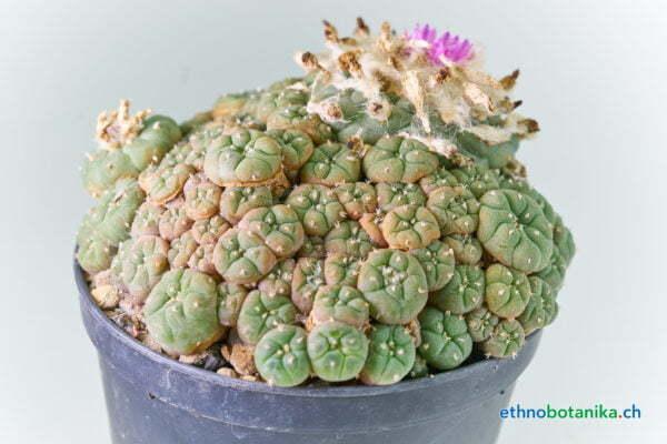 Lophophora jourdaniana 01