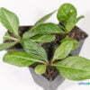Mandragora officinarum autumnalis 02